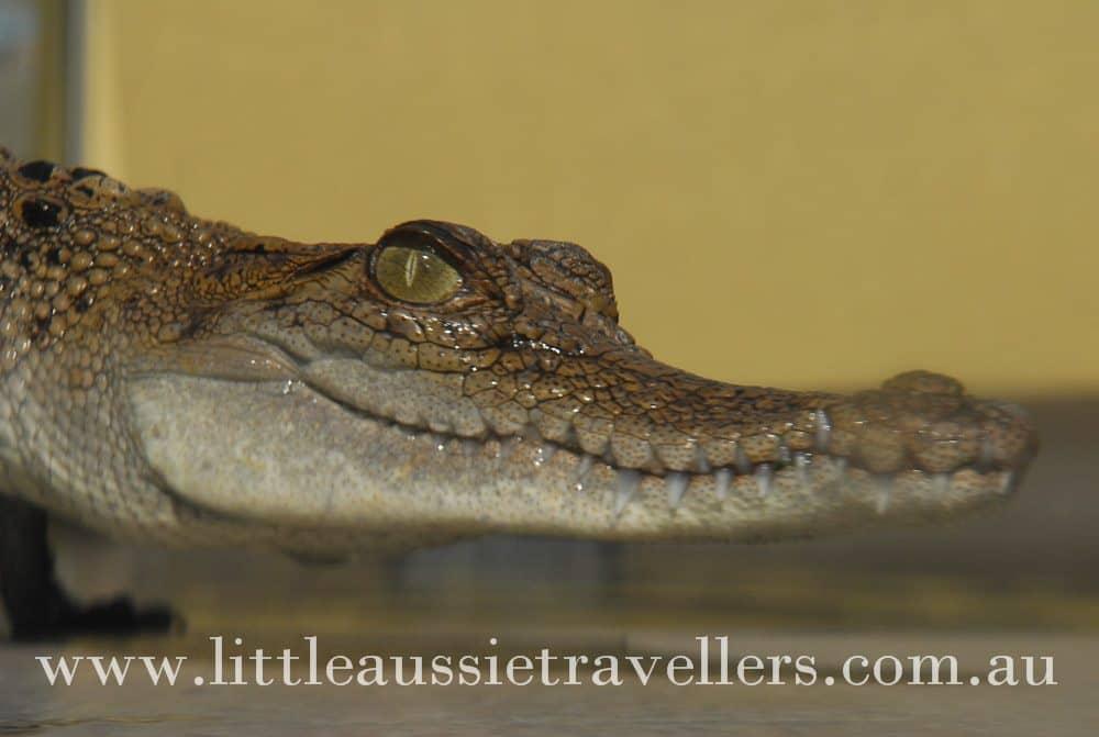 Review: Crocosaurus Cove Darwin – Family Attractions