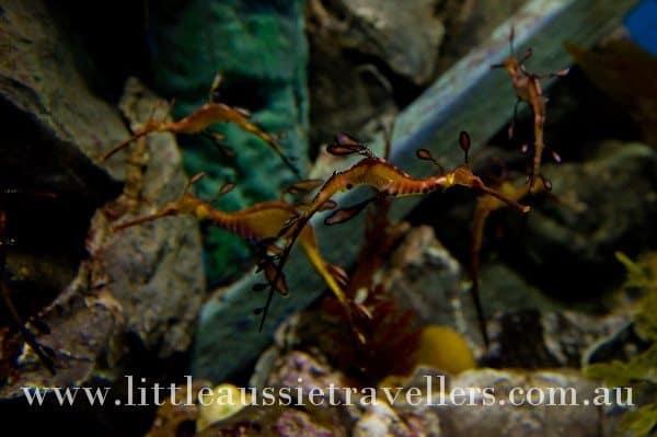 sea dragon melbourne aquarium