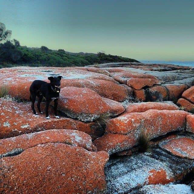 bay of fires australian travel with dogs