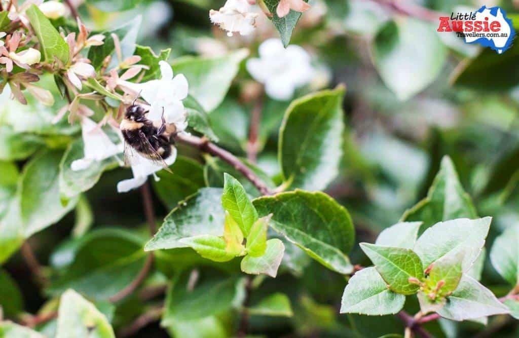 Bumble Bees tasmania