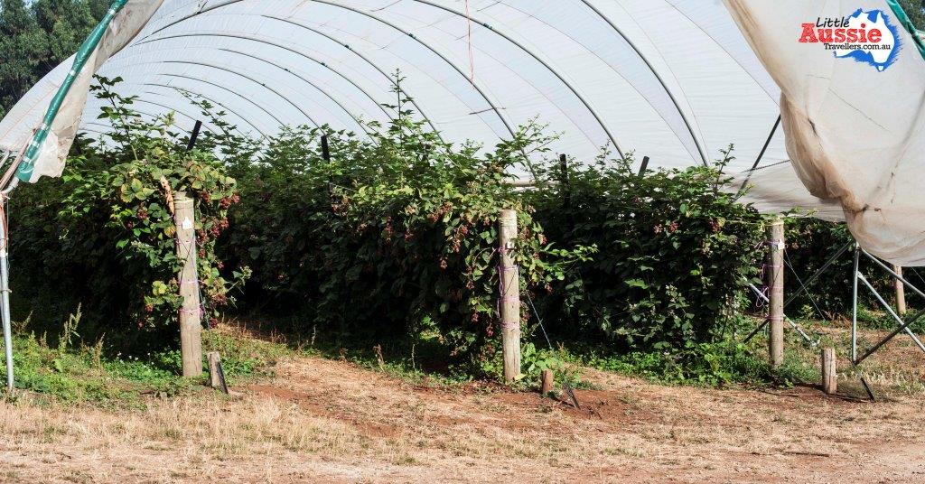 raspberries growing tasmania